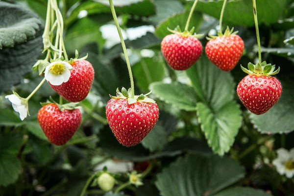 Keelings First Irish Strawberries of 2020 Have Arrived